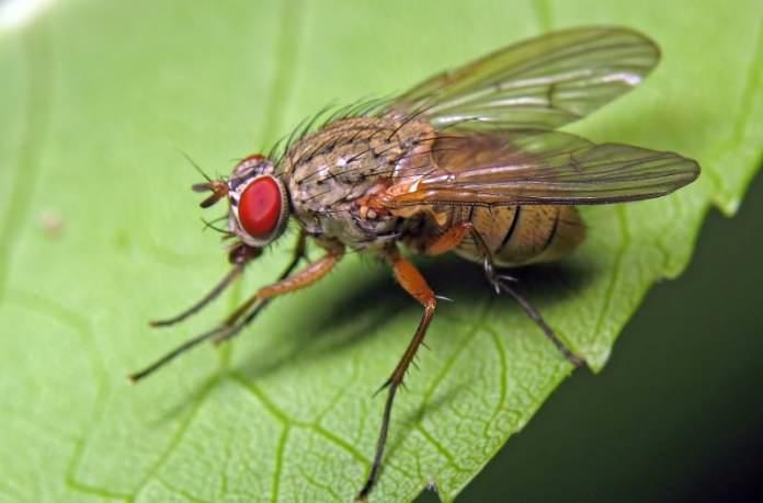 Савойская капуста подвержена воздействию капустной мухи