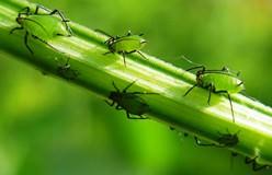 Тля – насекомое, которое относится к подотряду Aphidinea