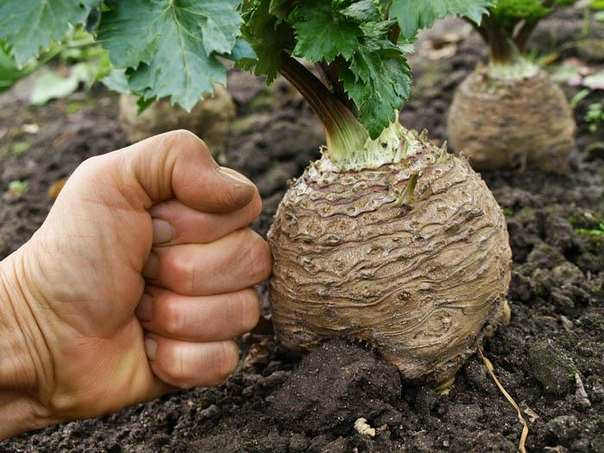 Корнеплоды крупного размера получаются при выполнении прореживания растений в начале августа