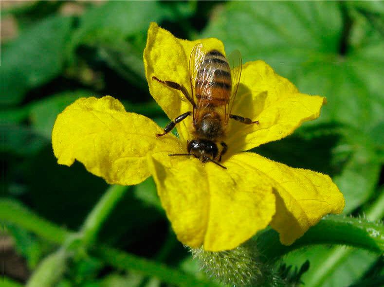 Хорошего урожая в парнике без механического опыления вы не дождетесь, ведь туда пчелы залетают редко
