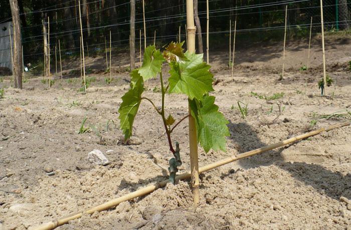 Вырастить виноград можно на грядке или в траншее