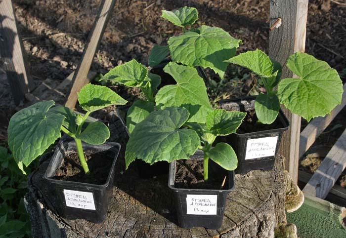 Своевременная высадка рассады в тепличные укрытия обеспечит богатый урожай