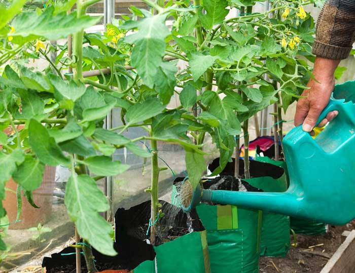 Помидоры очень чувствительны не только к недостатку, но и переизбытку влаги, что может спровоцировать растрескивание плодов, и большую часть урожая составят лопнувшие томаты