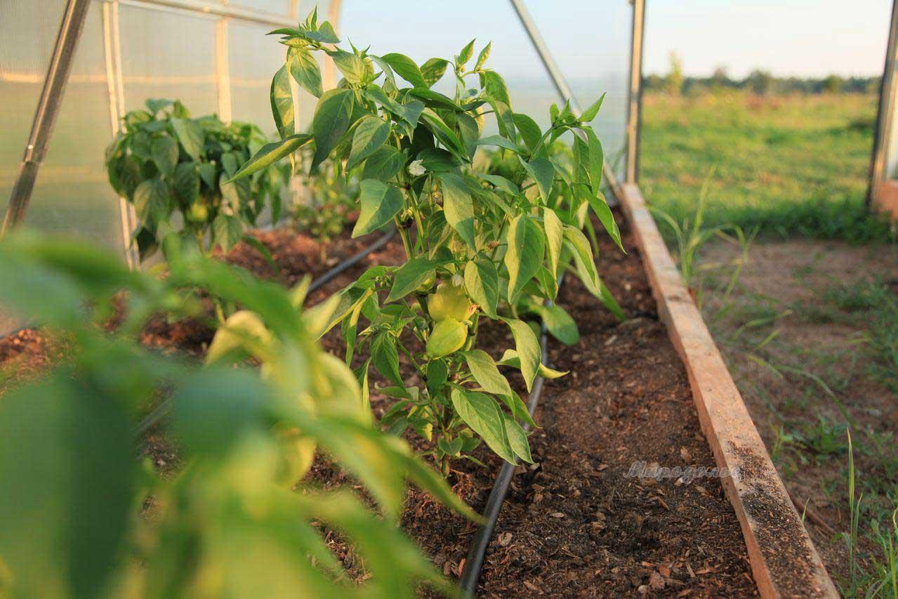 Выполняя подкормки перцев, выращиваемых в теплице, следует помнить, что влияние минеральных удобрений на растение может быть разносторонним