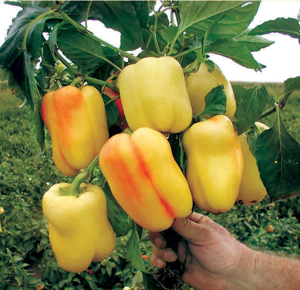 Строгое соблюдение сроков внесения подкормок и правильный выбор удобрений оказывают значительное влияние на плодоношения перца и позволяют получить хороший урожай этого овоща