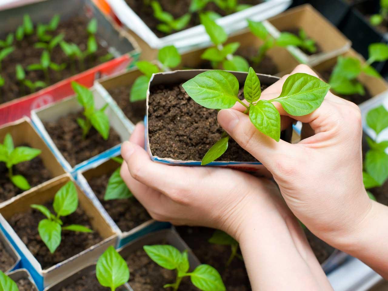 Эта овощная культура очень требовательна к рН грунта и очень плохо растёт на кислых почвах. Высокая урожайность характерна при выращивании перца на высоко плодородных и удобренных почвах