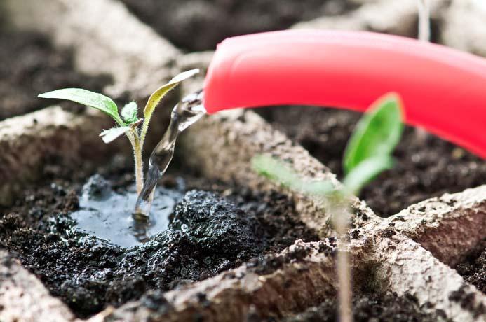 Полив томатов нужно вести под корни, не размывая почву