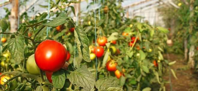 Сорт томатов «Бархатный сезон» имеет компактный и аккуратный куст с густо-красными, мясистыми плодами высокого вкусового качества