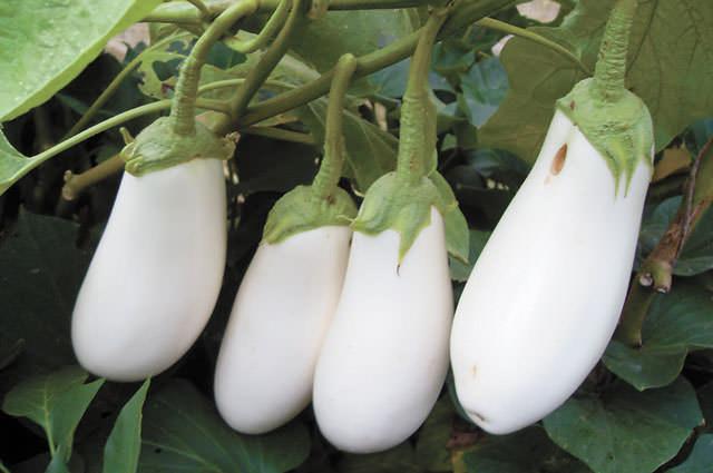 Удивительные молочно-белые и ровные плоды средней величины можно получить при выращивании гибридного сорта «F1-Бибо»
