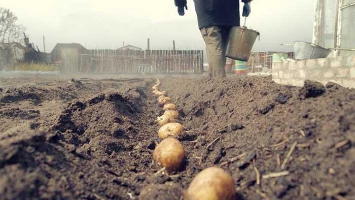 В августе стоит посадить картофель, который вырастает за 40 дней. Тогда в сентябре вы получите второй или даже третий урожай