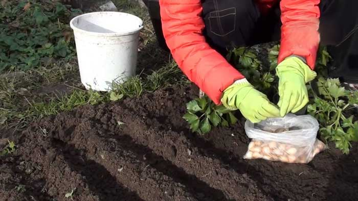 В этот период принято высаживать лук-севок, чеснок