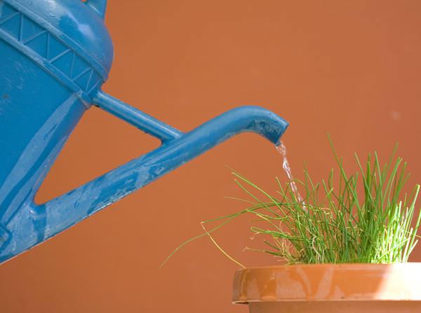 Для полива зелени в зимний период используется отстоянная вода комнатной температуры