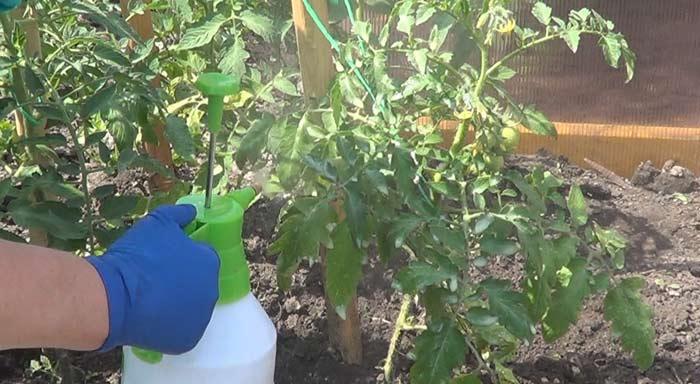 Хорошие результаты дает регулярное опрыскивание помидоров. Для этого используется средство органического происхождения «Эффектон-О»
