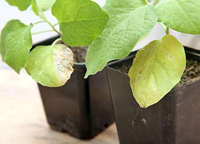 Нередко встречается ситуация, когда желтизна листьев баклажанов становится первым признаком такой грозной болезни тепличных овощных культур, как увядание фузариозное