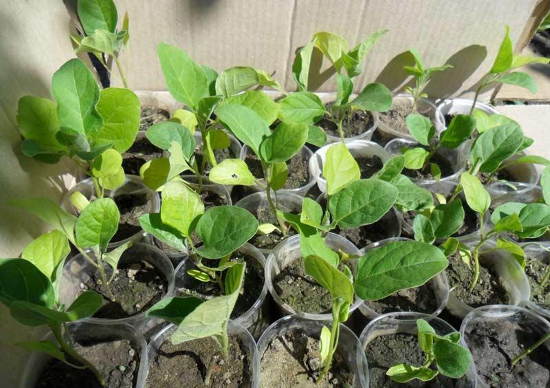 При высадке рассады в каждую посадочную лунку целесообразно вносить «Триходермин», а при наличии больных растений их необходимо удалять с последующей обработкой всех растений препаратом «Фалькон»