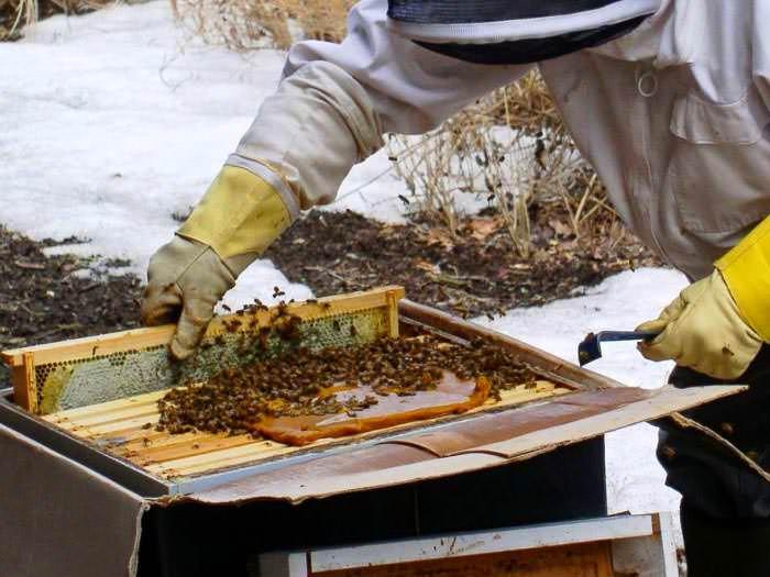 Зимой падевый мед не используют, но он хорош в весенний период для наращивания силы пчелиной семьи