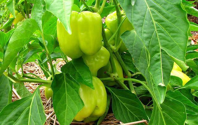 Перец не только вкусная и полезная, но и очень урожайная тепличная культура