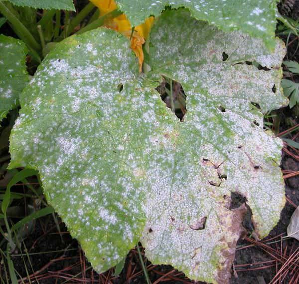Тепличный пероноспороз огурцов больше известен как мучнистая ложная роса