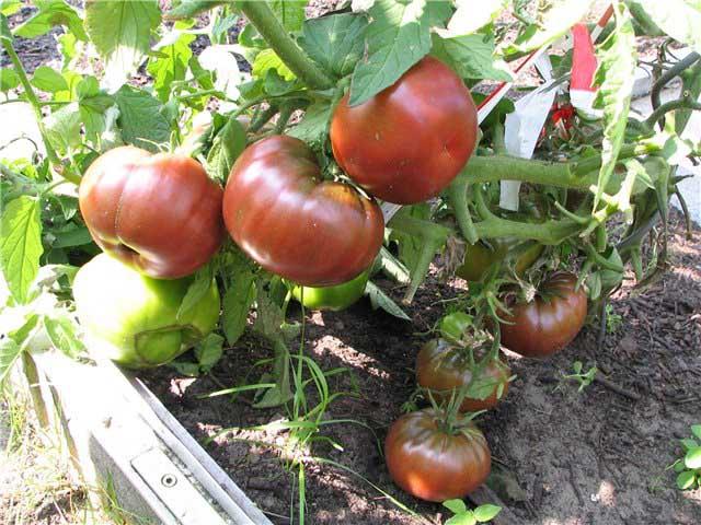 Сорт «Чёрный принц» – наиболее вкусный среди крупноплодных томатов
