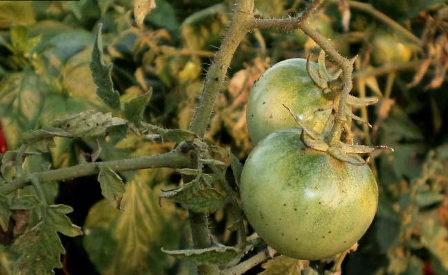 Недостаток влаги в значительной степени ослабляет растения и делает их максимально доступными для поражения любыми болезнями