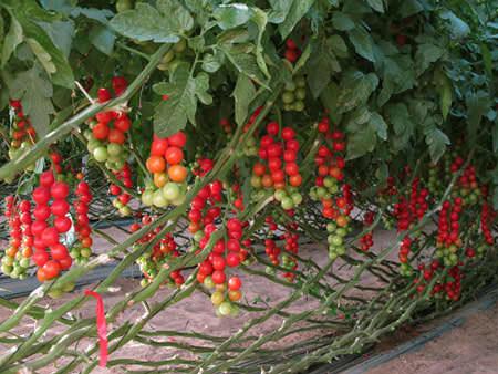 Посадка и уход за помидорами черри в теплице из поликарбоната