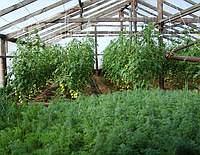 Совместная посадка овощей в теплице