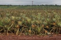 kak-rast-ananas-10