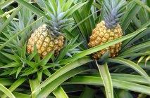 kak-rast-ananas-9