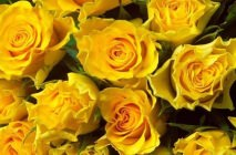 yellow-roses1