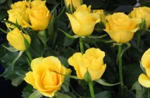 yellow-roses10