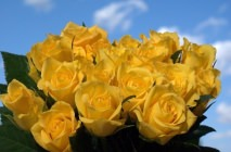 yellow-roses15