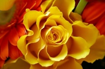 yellow-roses3