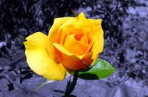 yellow-roses6