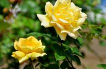 yellow-roses8