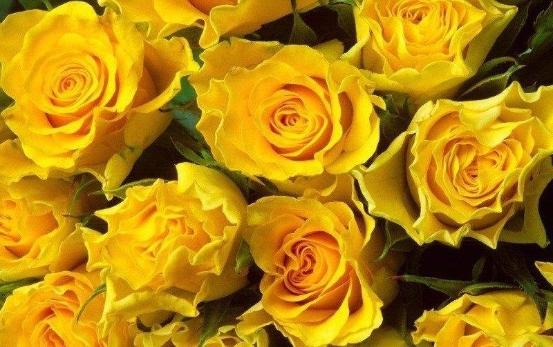 http://moyateplica.ru/images/com_droppics/79/yellow-roses1.jpg