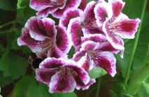 Royal-geranium1