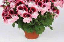 Royal-geranium10