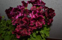 Royal-geranium11