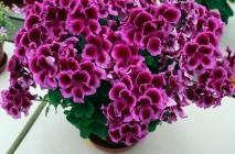Royal-geranium18