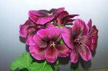 Royal-geranium8