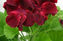 Royal-geranium9