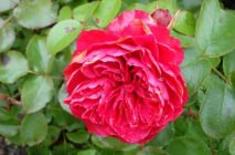 Rose-of-Leonardo-da-Vinci10
