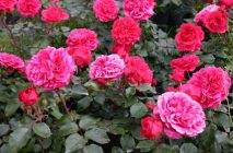 Rose-of-Leonardo-da-Vinci11