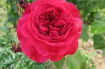 Rose-of-Leonardo-da-Vinci12