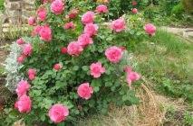 Rose-of-Leonardo-da-Vinci13