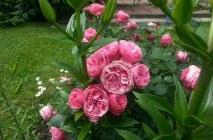 Rose-of-Leonardo-da-Vinci14