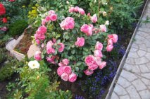 Rose-of-Leonardo-da-Vinci16