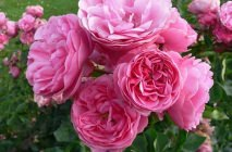 Rose-of-Leonardo-da-Vinci17