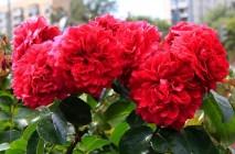 Rose-of-Leonardo-da-Vinci18