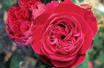 Rose-of-Leonardo-da-Vinci19